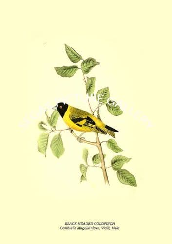 BLACK-HEADED GOLDFINCH - Carduelis Magellanicus, Vieill, Male