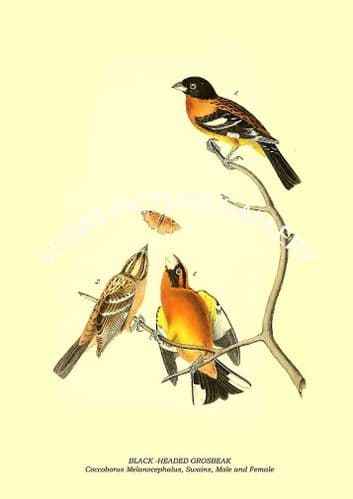 BLACK -HEADED GROSBEAK - Coccoborus Melanocephalus, Swains, Male and Female