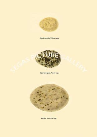 Black-headed Plover egg, Spur-winged Plover egg & Ruffed Bustard egg