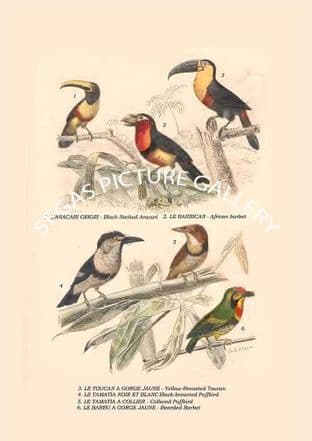 Black-Necked Aracari, African Barbet, Yellow-Breasted Toucan, Black-Breasted, Puffbird, Bearded