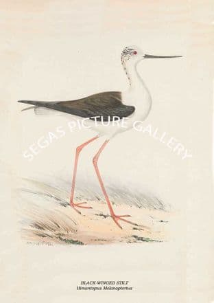 BLACK-WINGED STILT - Himantopus Melanopterius