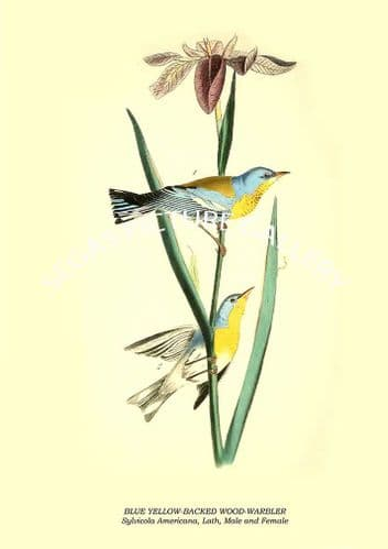 BLUE YELLOW-BACKED WOOD-WARBLER - Sylvicola Americana, Lath, Male and Female