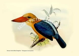 Bornean Stork-Billed Kingfisher - Pelargopsis Leucocephala