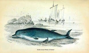 Bottle-nosed Whale of Hunter