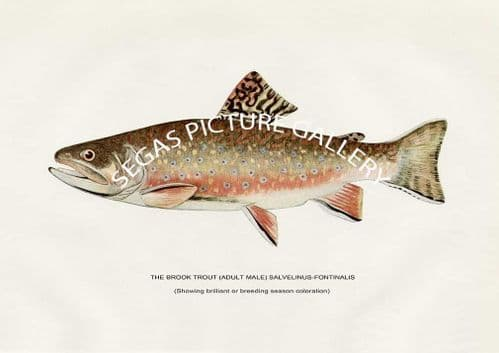 Fine art print of the Brook Trout (Adult Male) Salvelinus-Fontinals by H H Leonard (1914)