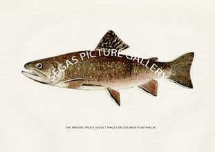 Brook Trout (Adult Male) Salvelinus-Fontinals (summer colouration)