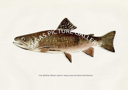 Fine art print of the Brook Trout (Adult Male) Salvelinus-Fontinals (summer colouration) by H H Leonard (1914)