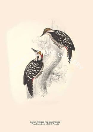 BROWN-FRONTED PIED WOODPECKER - Picus Brunnifrons