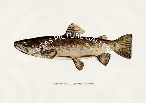 Fine art print of the Brown Trout (Adult Male) Salmo-Fairo by H H Leonard (1914)