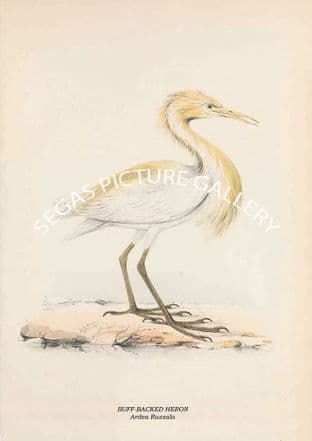 BUFF-BACKED HERON - Ardea Russala