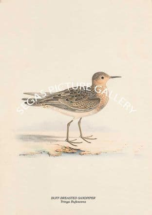 BUFF-BREASTED SANDPIPER - Tringa Rufescens