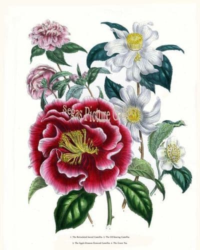 Fine art print of the Reticulated-leaved Camellia, Oil-bearing Camellia, Apple-blossom-flowered Camellia, Green Tea by Mrs Webb Loudon