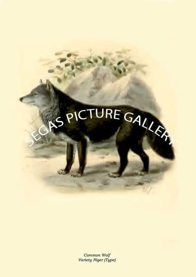 Canidae (dogs, jackals, wolve, foxes, etc by St George Mivart (1890)