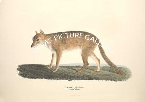 Fine art print of the CANIS syriacus by Friderici Guilelmi Hemprich (1830)