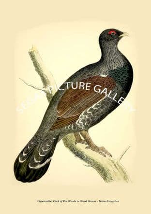 Capercaillie, Cock of The Woods or Wood Grouse - Tetrao Urogallus