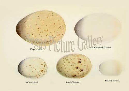 Capercaillie, Great Crested Grebe, Water-Rail, Sand-Grouse, Storm-Petrel Eggs