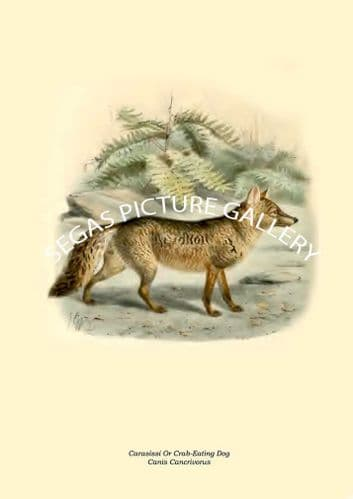Carasissi Or Crab-Eating Dog, Canis Cancrivorus