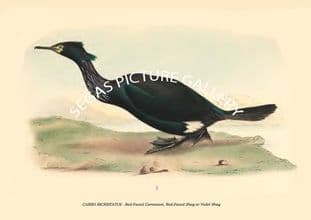 CARBO BICRISTATUS - Red-Faced Cormorant, Red-Faced Shag or Violet Shag