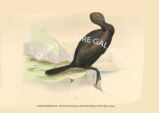 CARBO BICRISTATUS - Red-Faced Cormorant, Red-Faced Shag or Violet Shag, Young