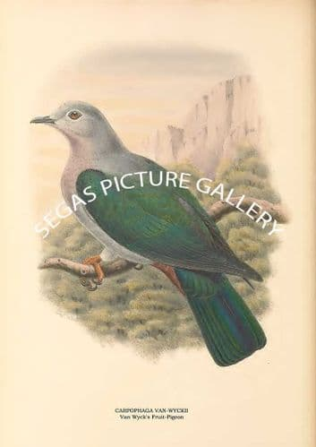CARPOPHAGA VAN-WYCKII - Van Wycks Fruit-Pigeon
