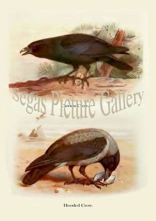Carrion Crow & Hooded Crow