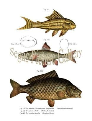 Catfish or Ringelmann, Barbe, Carp