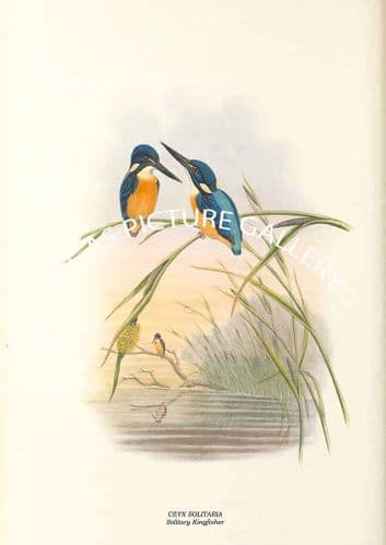 CEYX SOLITARIA - Solitary Kingfisher