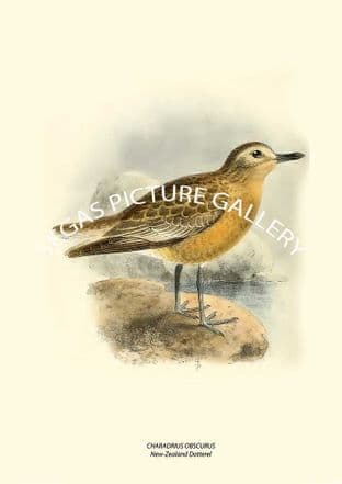 CHARADRIUS OBSCURUS - New-Zealand Dotterel