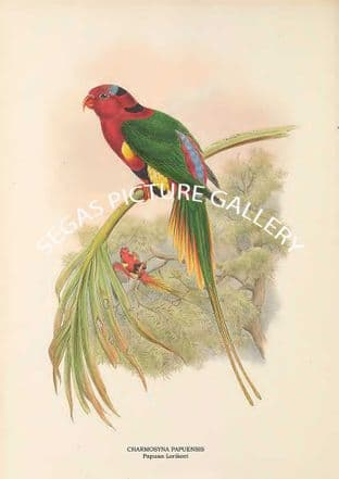CHARMOSYNA PAPUENSIS - Papuan Lorikeet