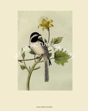 Chickadee, Black-capped or Long-tailed Chickadee by John Cassin