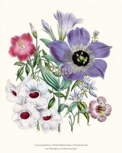 Fine art print of the Cross-leaved Chironia, Duke of Bedford's Lisianthns, Jasmine-like Tecoma, Mrs. Telfair's Bignonia, Blue-flowered Tweedia by Mrs Webb Loudon