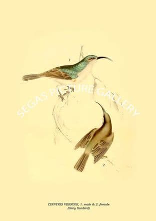 CINNYRIS VERROXI, male & female - Grey Sunbird