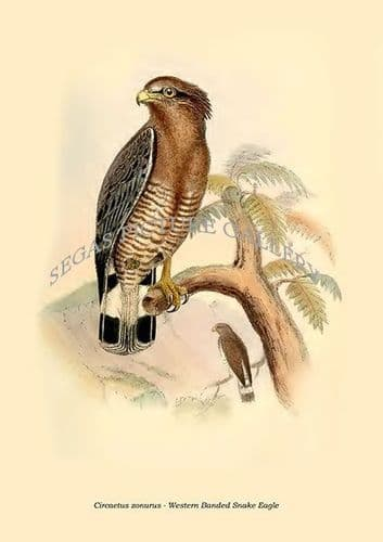 Fine art print of the Circaetus Zonurus - Western Banded Snake Eagle by Philip Lutley Sclater (1859 to 1862) reproduced by Segas Picture Gallery.<br />Open Edition
