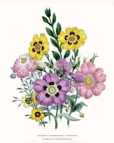 Fine art print of the Purple Cistus, Sheathed-leaved Cistais, Beautiful Cistus, Algarve Cistus, Hoary-lelhved Rose Cistus by Mrs Webb Loudon
