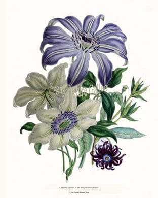 Clematis, Blue; Many-flowered Clematis, Florida Aniseed Tree