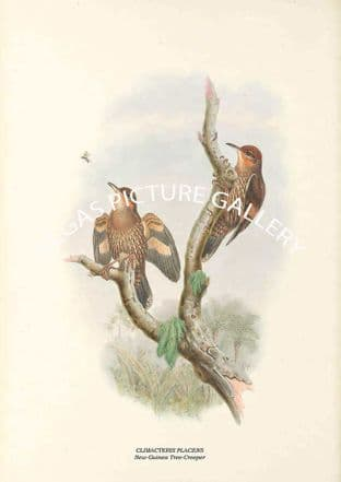 CLIMACTERIS PLACENS - New-Guinea Tree-Creeper
