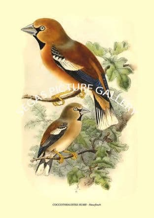 COCCOTHRAUSTES HUMII - Hawfinch