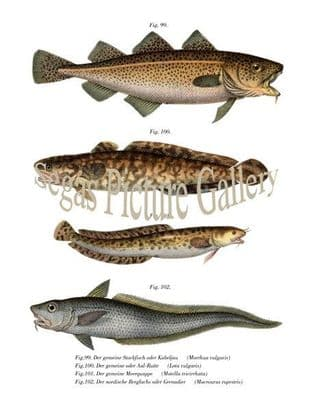 Cod Fish, Burbot, Three Bearded Rockling, Roundnose Grenadier Fish