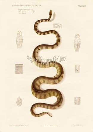 Collared Sea Snake, Hydrophis stricticollis