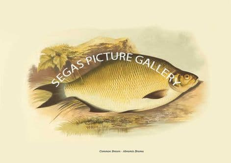 Fine art print of the Common Bream - Abramis Brama by the Artist Alexander Francis Lydon (1879)