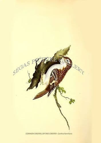 COMMON CREEPER, OR TREE CREEPER - Certhia Familiaris