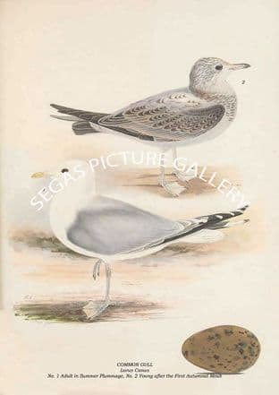 COMMON GULL - Larus Canus, No. 1 Adult in Summer Plummage, No. 2 Young after First Autumnal Moult