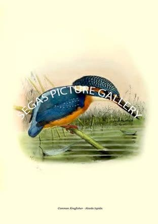 Common Kingfisher - Alcedo Ispida