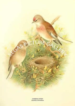 COMMON LINNET - Acanthis Cannabina