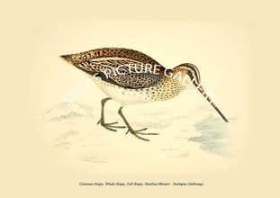 Common Snipe, Whole Snipe, Full Snipe, Heather-Bleater - Scolopax Gallinago