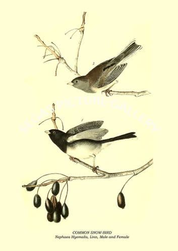 COMMON SNOW-BIRD - Nephaea Hyemalis, Linn, Male and Female