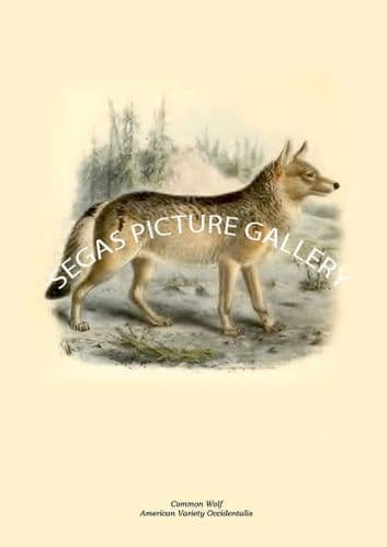 Common Wolf, American Variety Occidentalis