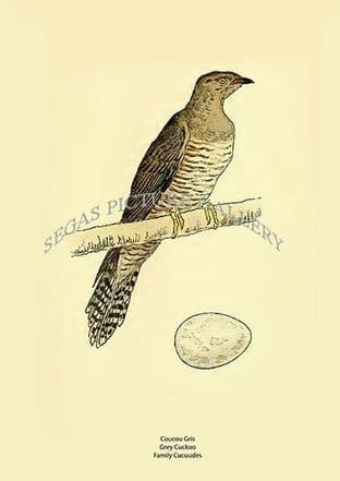 Coucou Gris - Grey Cuckoo -  Family Cucuudes