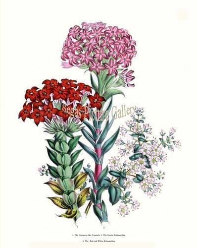Fine art print of the Centaury-like Crassula, Scarlet Kalosanthes, Red and White Kalosanthes by Mrs Webb Loudon