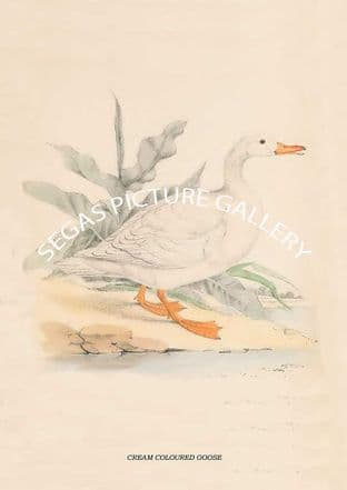 CREAM COLOURED GOOSE -